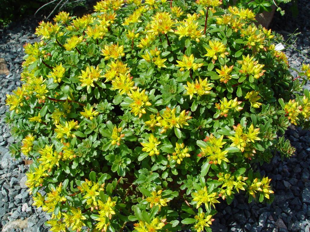 Sedum floriferum Weihenstephaner